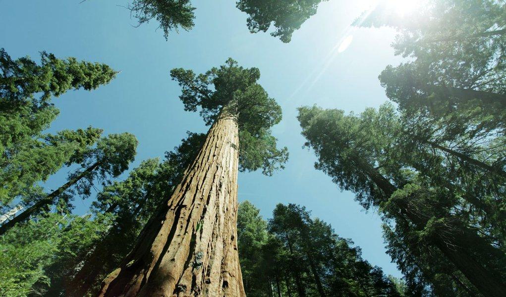Rainhas da floresta: árvores gigantes podem desaparecer
