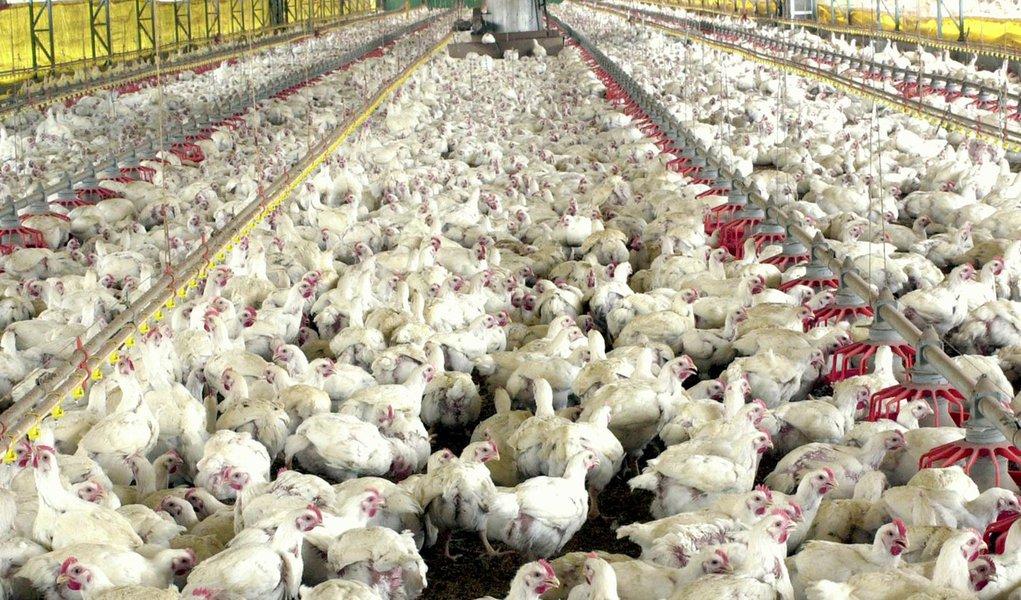 Carne Fraca impacta cadeia produtiva do frango