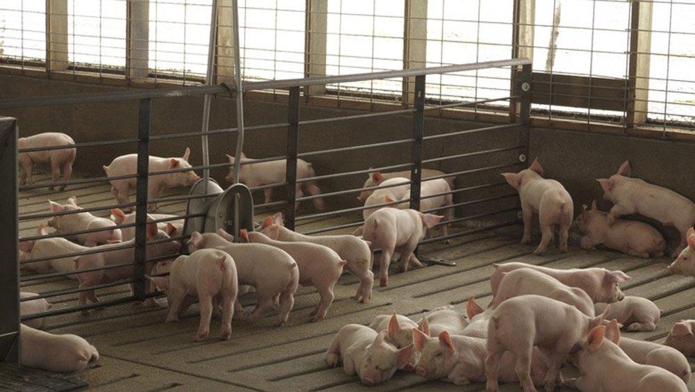 """A Associação Brasileira de Proteína Animal (ABPA) alerta que, por causa da greve dos caminhoneiros, acadeia produtiva da avicultura e da suinocultura do país iniciou esta quinta-feira com 120 plantas frigoríficas paradas – produtoras de carne de frango, perus, suínos e outros; mais de 175 mil trabalhadores estão com atividades suspensas no País; """"Há casos de animais com mais de 50 horas sem alimentação"""""""