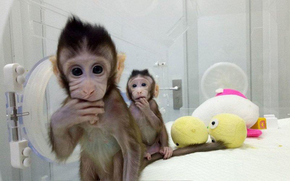 Conheça Zhong Zhong e Hua Hua – duas macaquinhas recém nascidas em Pequim, na China. Ambas perfeitamente saudáveis, são os primeiros primatas produzidos com o mesmo método que fez a ovelha Dolly há duas décadas. O experimento coloca os cientistas chineses na vanguarda de uma tecnologia que poderá, no futuro próximo, produzir muitos macacos geneticamente modificados para servir de modelos e cobaias na pesquisa de doenças humanas.