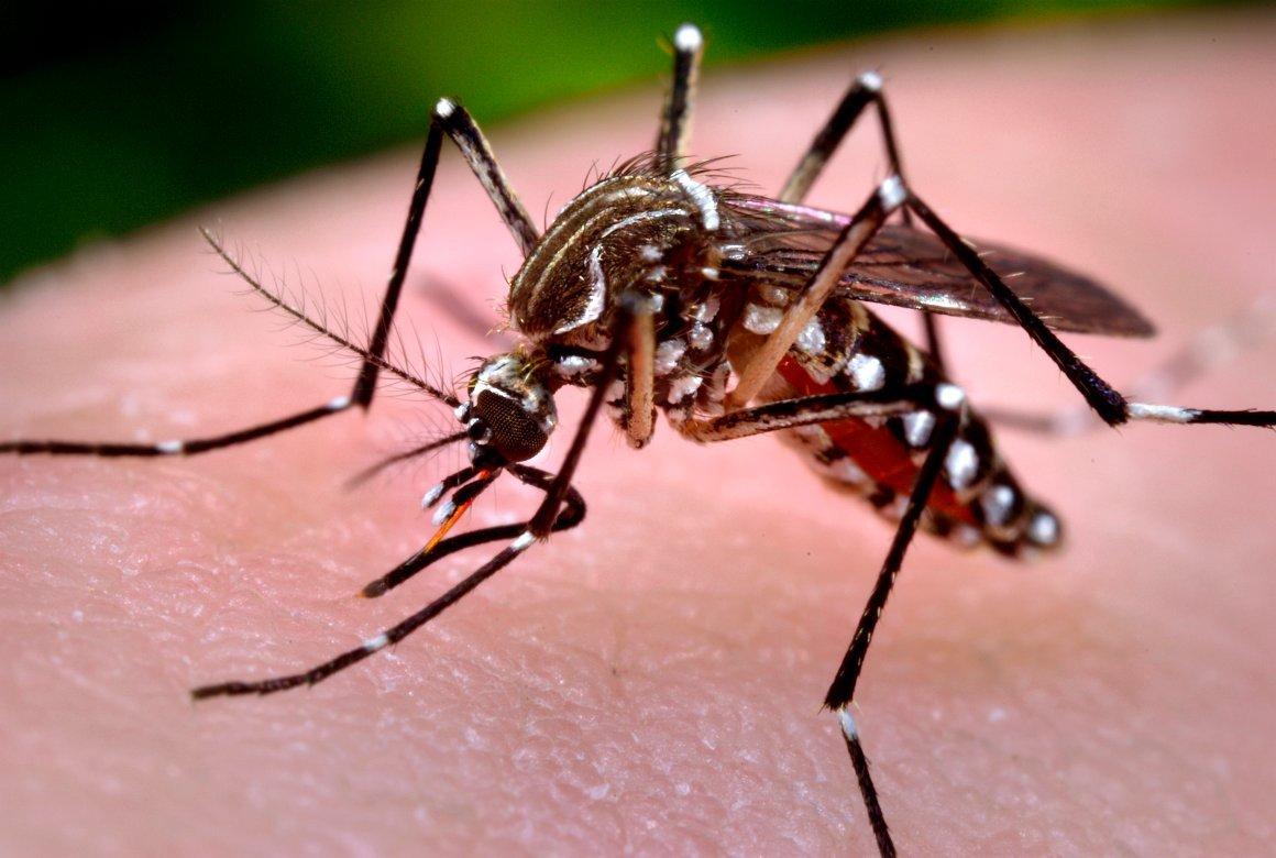 aedes aegypti dengue zika