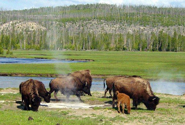 Rebanhos de búfalos habitam o território do Parque Yellowstone, dividindo as terras com alces, veados, lobos e variada fauna