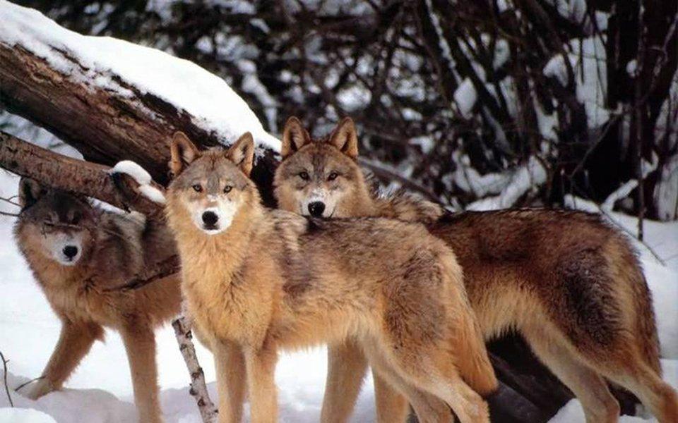 Os lobos estiveram ausentes do Parque Nacional Yellowstone, nos Estados Unidos, durante mais de 70 anos. Sua reintrodução na área ocorreu ao redor de 1995 – e esse retorno trouxe surpreendentes benefícios. Ao final da matéria, um vídeo explica e ilustra bem o que aconteceu, mostrando do que é capaz a natureza quando nós a deixamos em estado puro.