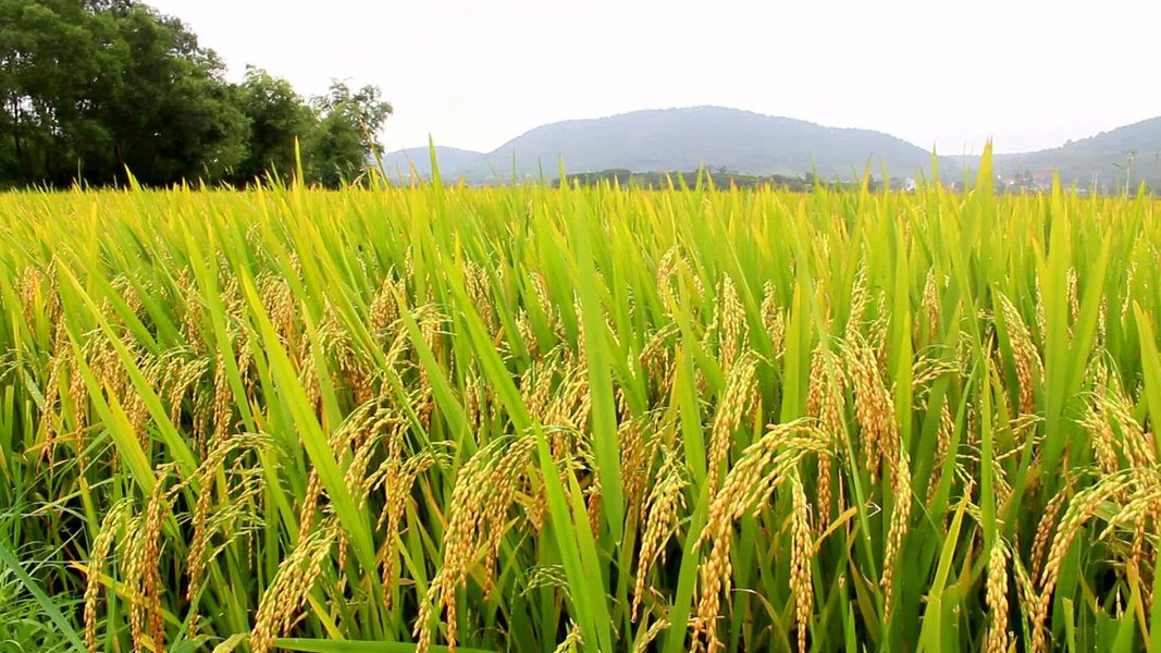 A previsão para 2017 referente a safra de grãos do Nordeste é de aumento de 90%; crescimento será impulsionado pelo aumento da produção de arroz; estudo também sinaliza aumento das produções de feijão, milho e soja (89,5%); maior destaque de Sergipe é a safra de milho, com previsão de atingir 643,3 mil toneladas; laranja e o coco da baía também são destaques
