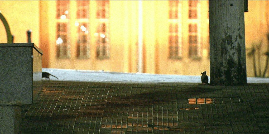 Com o acumulo de lixo na capital paulista, os ratos estão se apoderando da cidade, especialmente nas noites e madrugadas, conforme mostrou a reportagem do telejornal Bom Dia Brasil; principal risco associado á proliferação desses roedores é a leptospirose, transmitida pela urina ou pelas pulgas dos ratos