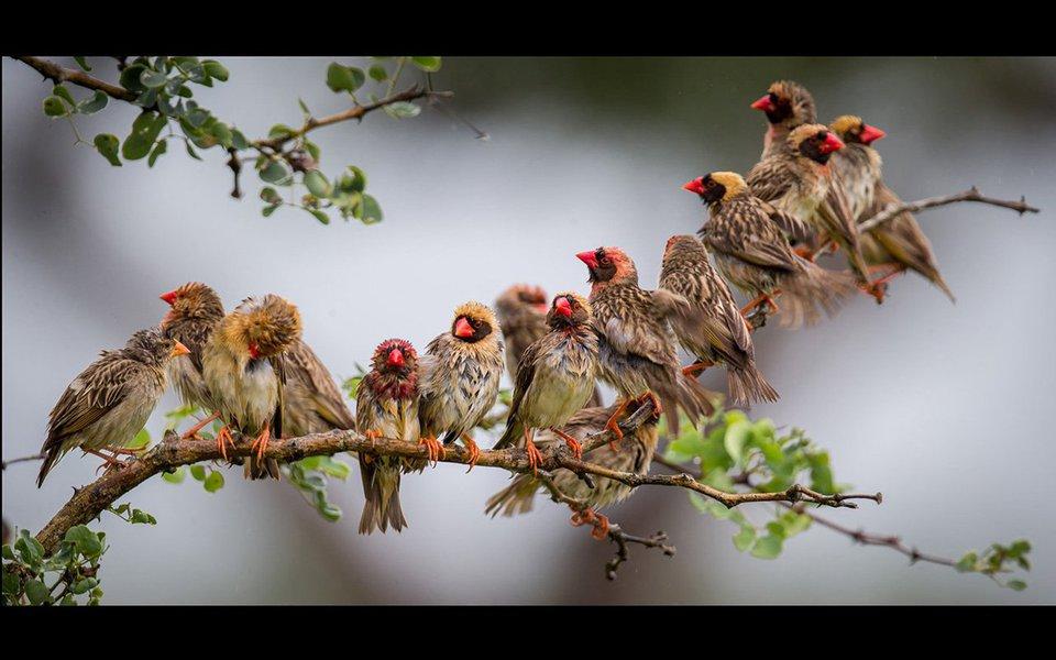 """Da gloriosa galinha-de-angola-com-crista ao adúltero jaçanã-africano e aos abutres, capazes de limpar uma carcaça de zebra em 30 minutos, Washington Wachira quer que todos nós possamos conhecer as maravilhosas espécies de aves com as quais dividimos o nosso planeta. Se você ainda não é um fã dos """"emplumados"""" da Terra, ou se ainda não se preocupa com a preservação deles, você vai ficar, depois de assistir a esta palestra encantadora."""