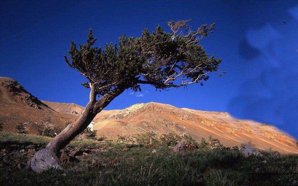 """As altas temperaturas obrigam as plantas a migrar para latitudes mais altas. Mas uma espécie rival se desloca mais rapidamente e subtrai espaço e nutrientes a uma das árvores mais longevas da Terra. Na Califórnia, o pinheiro """"Matusalém"""" (na foto de abertura, abaixo), com mais de 5 mil anos de idade, poderá desaparecer."""