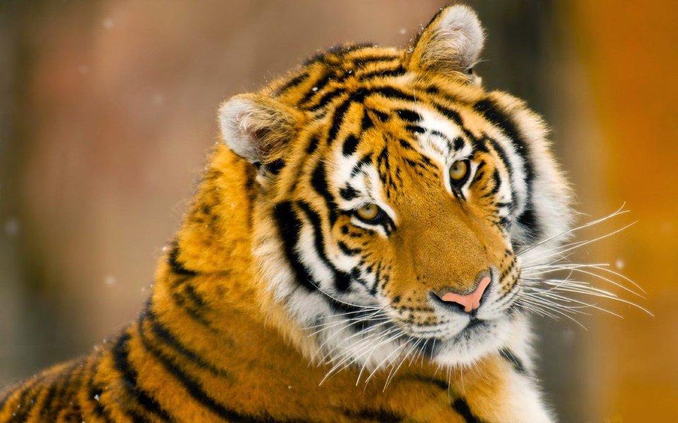 Um tigre siberiano atacou visitantes do parque natural de Badaling, nos arredores de Pequim. Uma mulher morreu, outra sofreu ferimentos; confira o momento do ataque