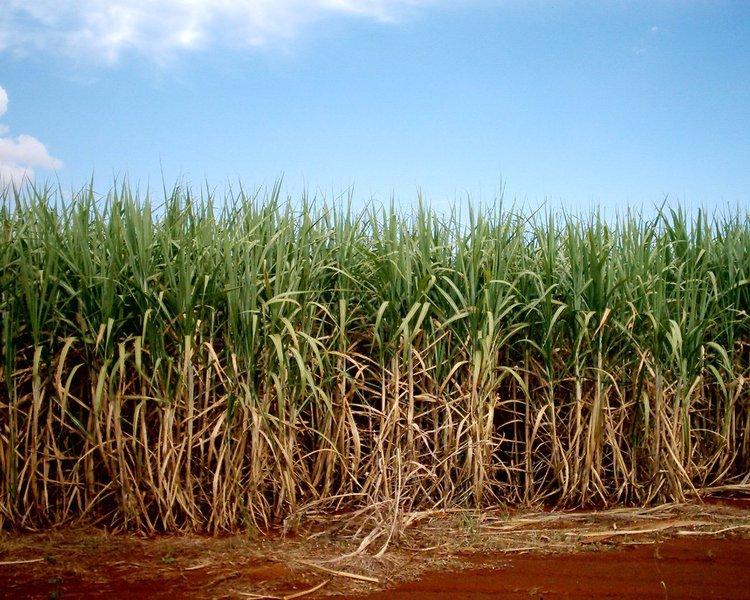 """Aproximadamente 50,8% da safra serão utilizados na fabricação do etanol; A produção de açúcar ficará com 41,8%; Na avaliação do secretário de Agricultura, Pecuária e Abastecimento, João Cruz, a maior destinação da safra para a produção de etanol vem ocorrendo em função dos incentivos fiscais ao setor; """"A redução do ICMS de 19% para 14% deu maior competitividade ao etanol em relação à gasolina, e isso passa a ser uma opção para o setor sucroalcooleiro, uma vez que os estoques mundiais de açúcar estão elevados, impedindo a sua valorização nos mercados interno e externo"""", explica o secretário de Agricultura, João Cruz"""
