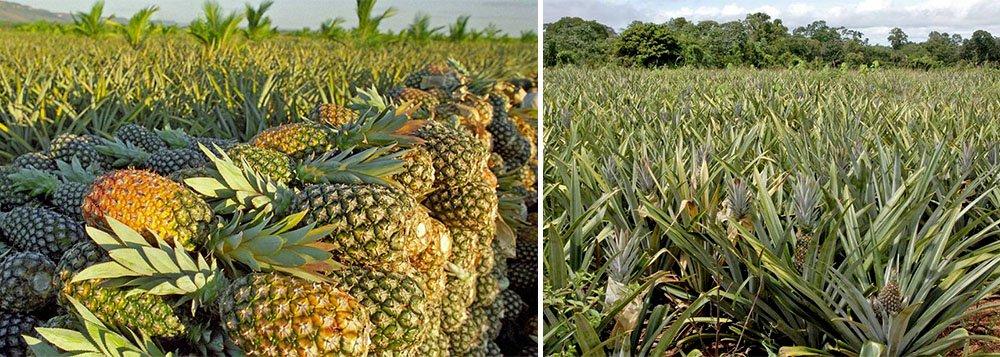 Os agricultores familiares representam 40% dos produtores de abacaxi do Tocantins, cultivando cerca de 35 milhões de frutos por ano, em 1.400 hectares; agricultores tocantinenses cultivam em torno de 1,5 a 2 hectares, numa média de 25 mil frutos por hectare; segundo estimativas do governo do Estado, cerca de 800 agricultores estão conquistando novos mercados e aumentando sua produção, por meio da capacitação técnica doInstituto de Desenvolvimento Rural do Estado do Tocantins (Ruraltins)