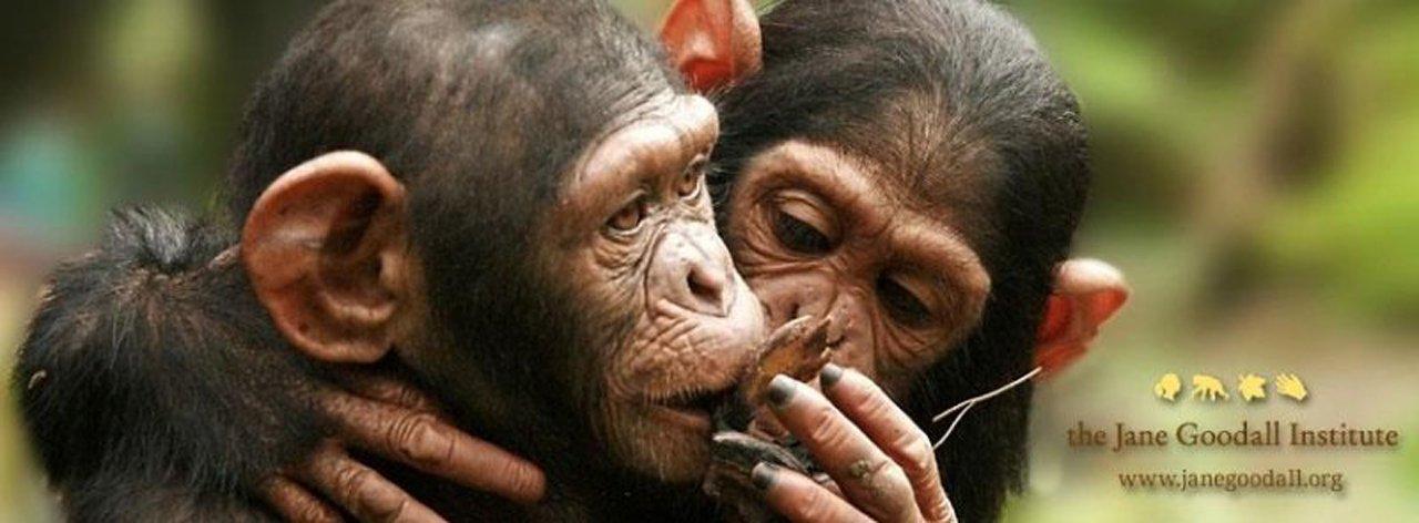 Vídeo comovente da soltura de uma chimpanzé tratada no instituto de Jane Goodall, a célebre etologista inglesa e uma das maiores especialistas desses primatas em todo o mundo
