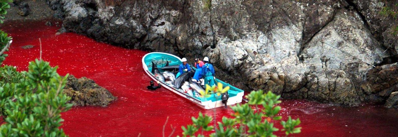 Mais uma vez, na semana passada, o Japão provocou indignação e protestos em todo o mundo por causa de uma horrível matança de golfinhos. O Japão e a Dinamarca são os dois principais países nos quais, com requintes de crueldade, o morticínio de cetáceos ainda é praticado com autorização dos respectivos governos