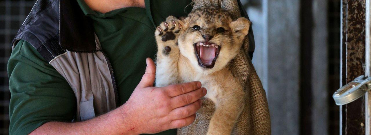 """Na África do Sul existem mais leões em cativeiro do que em estado selvagem. Muitos desses animais são criados especificamente para serem abatidos por turistas ricos da Europa e da América do Norte nos programas batizados de """"indústria da caça enlatada"""""""