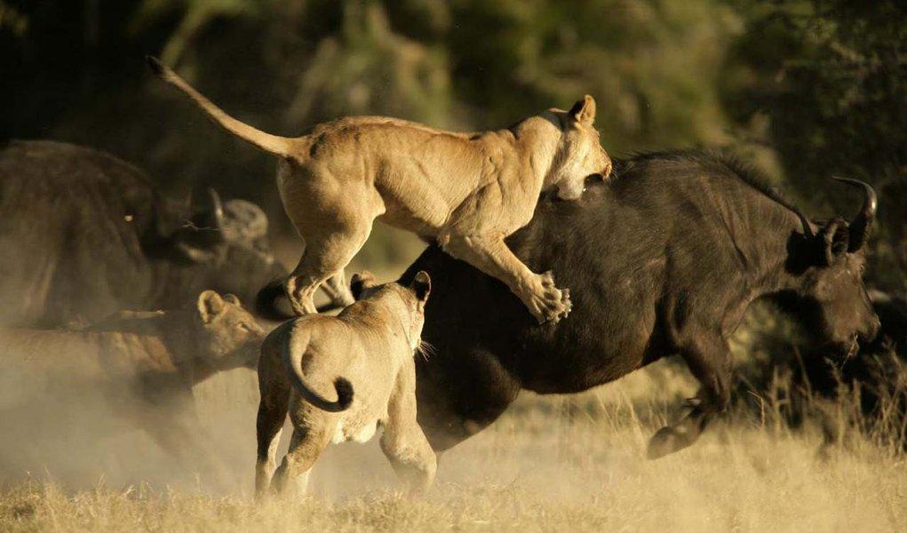 Leões X Búfalos: batalha no Kruger Park