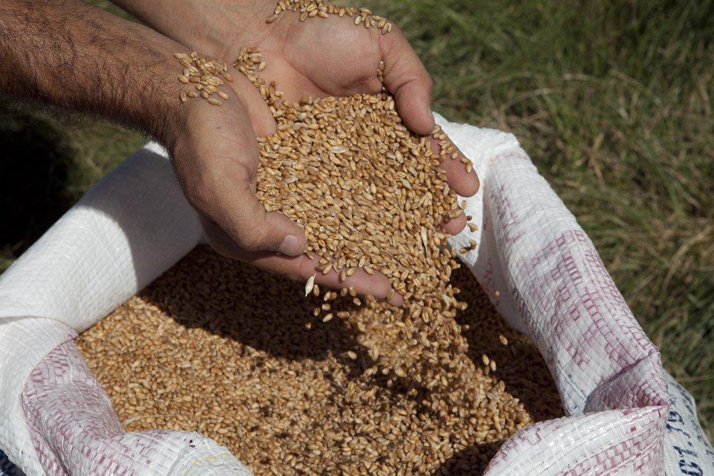 Com melhora do trigo gaúcho, produtores usam terras no inverno