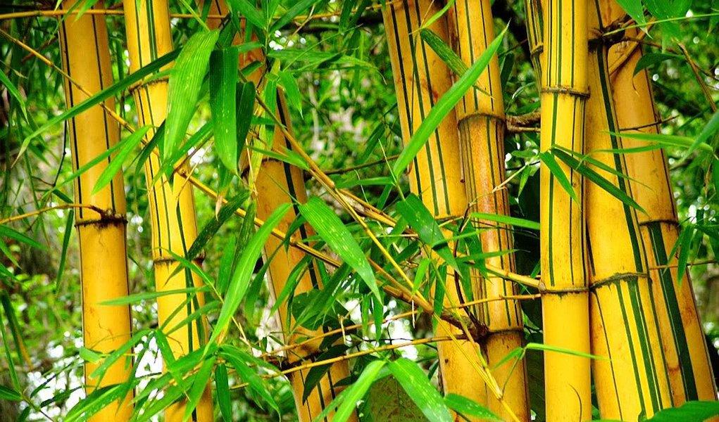 Bambu é alternativa de energia limpa