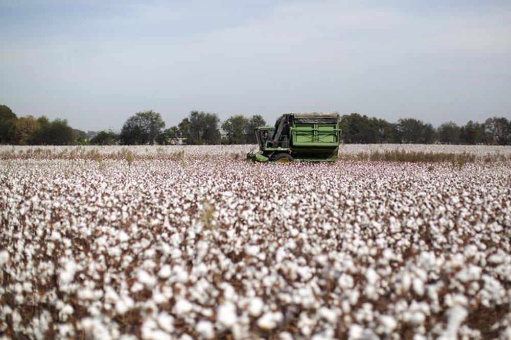 Bahia colhe sua 2ª melhor safra de algodão da história