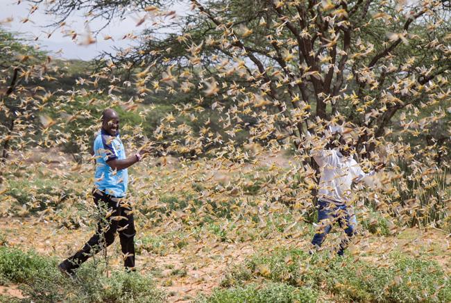 Quênia infestado de gafanhotos