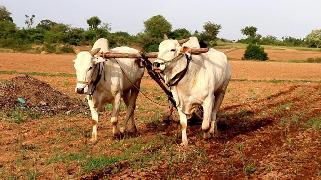 Agricultura tradicional na Índia
