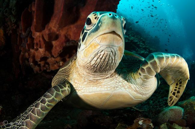 Tartaruga marinha em migração