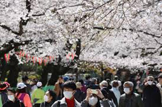 Cerejeiras em flor, japoneses marcarados