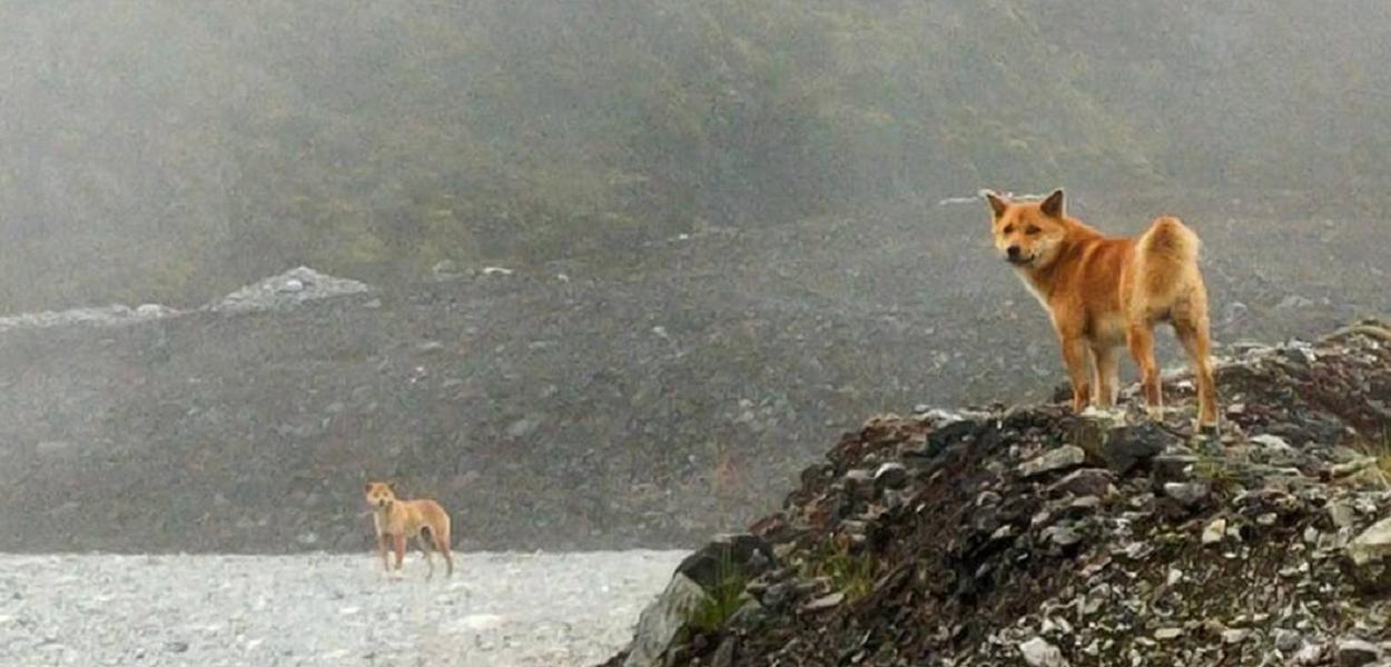 Cão cantor extinto reaparece