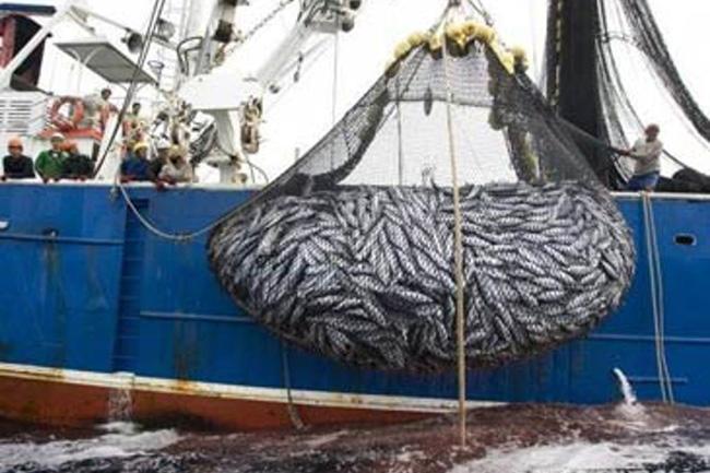 Pesca industrial dizima a vida marinha