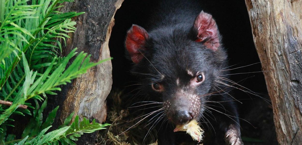 Demônio da Tasmânia