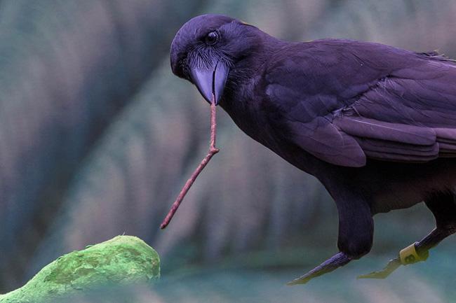 No zoo de San Diego, corvo utiliza ferrmenta para extrair comida