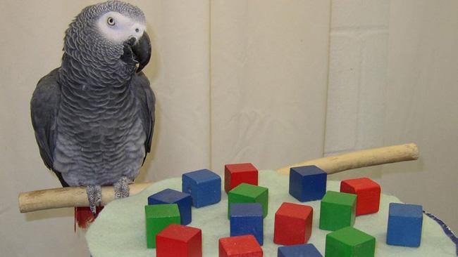 O papagaio africano Alex conseguia fazer cálculos matemáticos