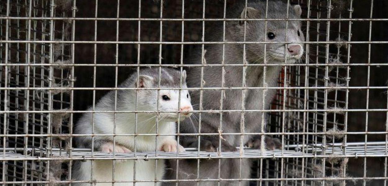 O animal vison é muito usado na Dinamarca para confeccionar casacos de pele