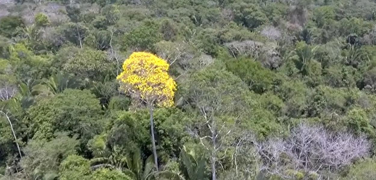 Ministério do Meio Ambiente acaba com restrições para a exploração da madeira ipê