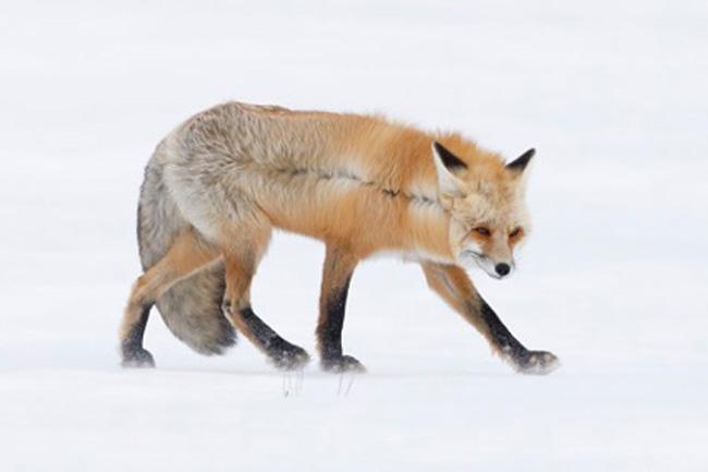 Raposa e seu casaco invernal