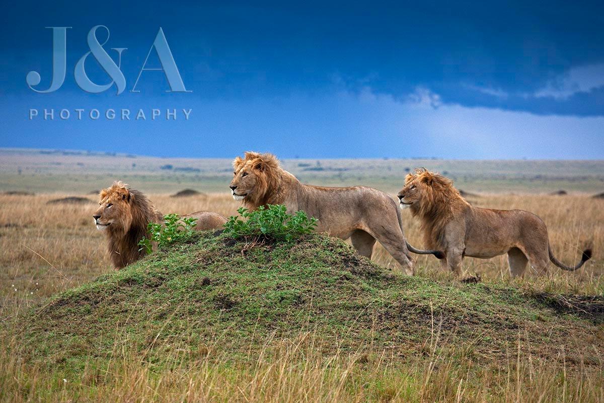 Leões no Maasai Mara (Foto: Jonathan e Angela Scott)