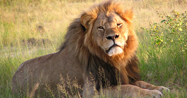 Cecil the lion at Hwange National Park in 2010. By Daughter#3 [CC BY-SA 2.0 (http://creativecommons.org/licenses/by-sa/2.0)], via Wikimedia Commons.
