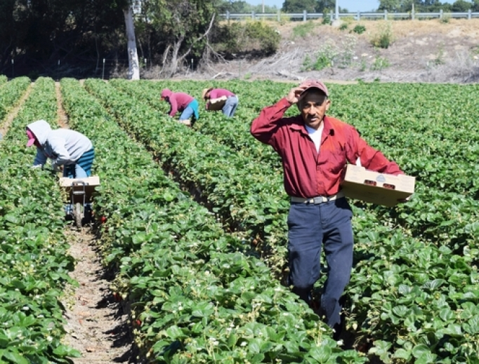 Workers tend to fields in Salinas, California.