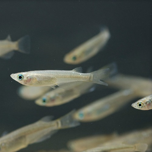 Japanese medaka fish