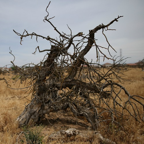 Dead trees stand in a drought-ravaged field on April 24 in Fresno, Calif.