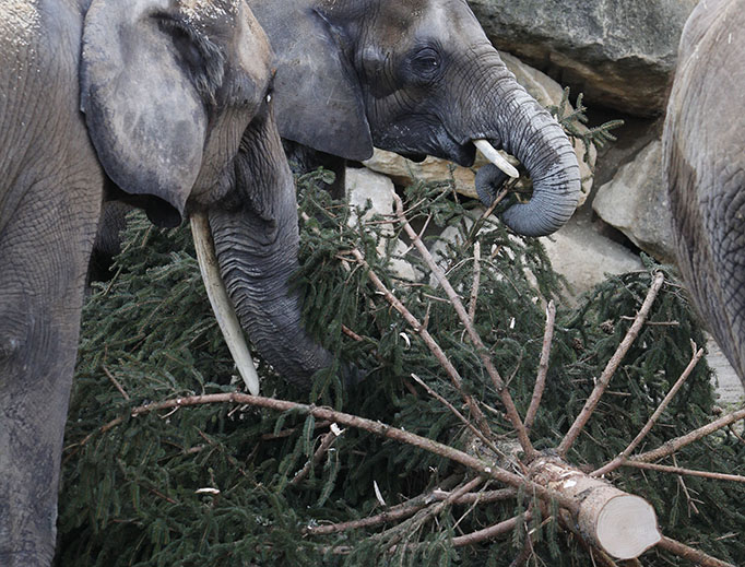 Most old Christmas trees are mulched in January, but a lucky few get eaten by elephants.