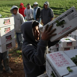 Mexican migrant workers load boxes of organic cilantro during the fall harvest at a farm in Wellington, Colo., in October.