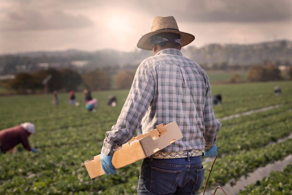 A man plucks strawberries as he works in a farm with others in Orange County, California.