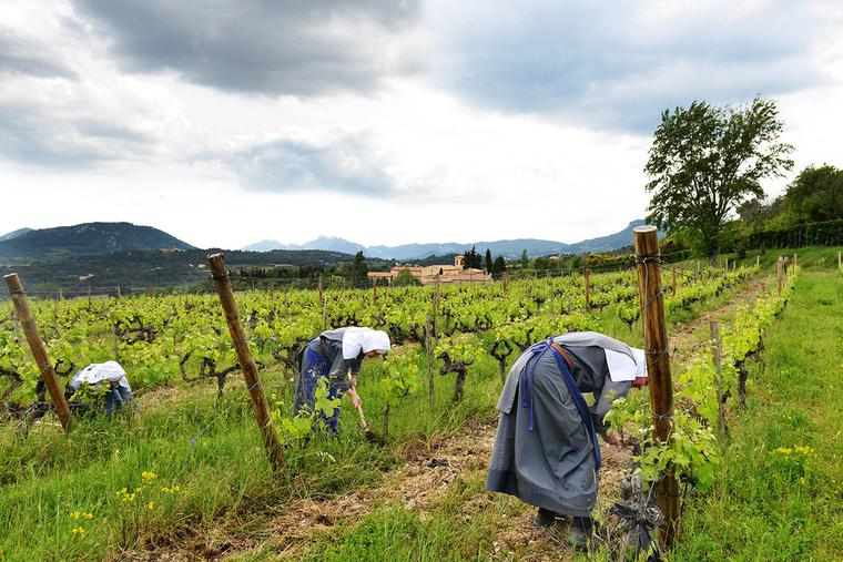 Three nuns of the Abbey of Our Lady of the Annunciation in Le Barroux work in their vineyard.