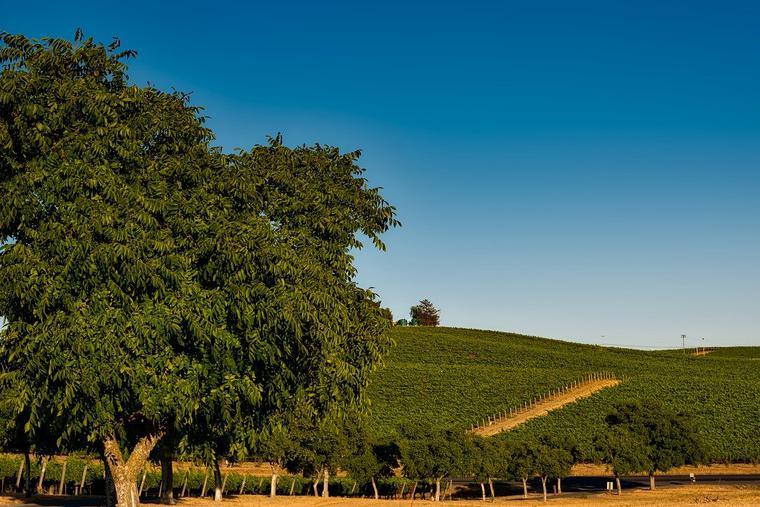 California Vineyard Photo