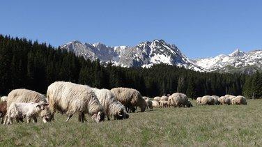 Ovce, ispaša
