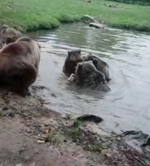 Medvjedi, napad na vučicu