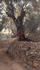 Požar Ulcinj, maslinjak Bažbuljuk