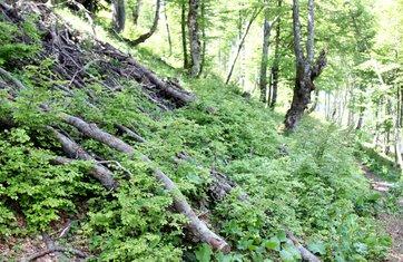 Komovi sječa šume
