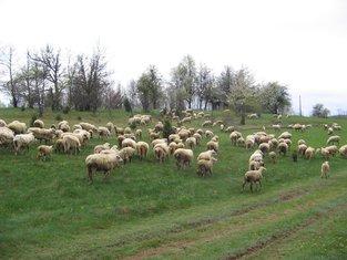 Ovce, stado