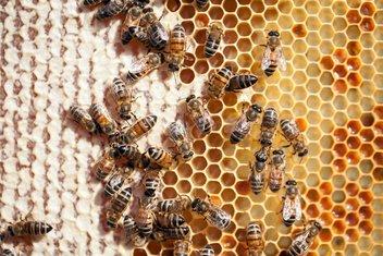ose, pčele