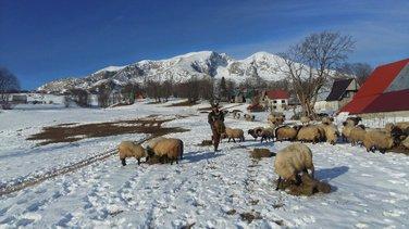 ovce Durmitor